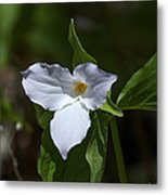 Large-flower Trillium Dspf279 Metal Print