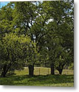 Large Green Oak Trees Metal Print