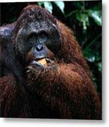Large Male Orangutan Borneo Metal Print