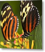 Large Tiger Butterflies Metal Print