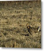 Last Prairie Chicken On The Booming Grounds  Metal Print by Thomas Young