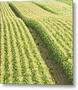 Late Summer Corn Field In Maine Metal Print