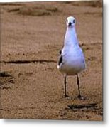 Laughing Gull 004 Metal Print