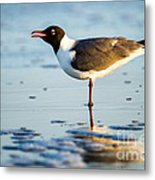 Laughing Gull On The Beach At Fort Clinch State Park Florida  Metal Print