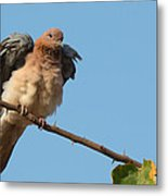 Laughing Palm Dove Fluffing Feathers Metal Print
