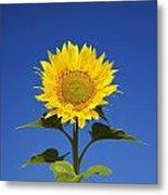 Laval, Quebec, Canada Sunflower Metal Print