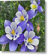 Lavender And White Star Flowers Metal Print