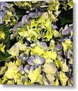 Lavender And Yellow Hydrangea Metal Print