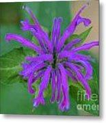 Lavender Bloom Metal Print