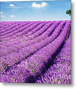 Lavender Field And Tree In Summer Provence France. Metal Print by Matteo Colombo