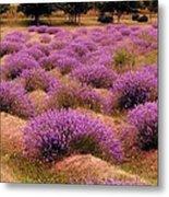 Lavender Fields 2 Metal Print
