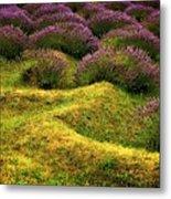Lavender Fields Metal Print