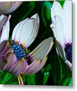 Lavender Frost African Daisy Metal Print