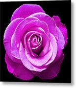 Lavender Rose Metal Print