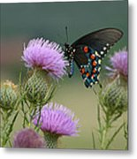 Lavender Thistle And Pipevine Swallowtail Butterfly Metal Print