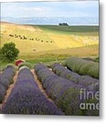 Lavender Valley Metal Print by Carol Groenen