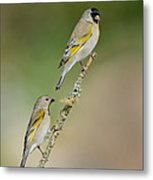 Lawrence Goldfinch Pair On Branch Metal Print