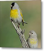 Lawrences Goldfinch Pair On Perch Metal Print