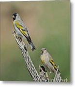 Lawrences Goldfinch Pair Perched Metal Print