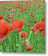 Laying In The Poppy Field Metal Print
