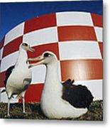Laysan Albatross Pair Nesting Midway Metal Print