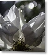 Lazy Afternoon White Rose Metal Print