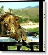 Lazy Lion With Poety Metal Print