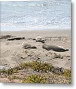 Lazy Seals Metal Print