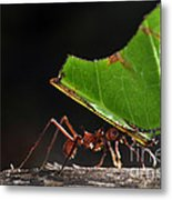 Leafcutter Ant Metal Print
