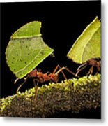 Leafcutter Ants Carrying Leaves Costa Metal Print