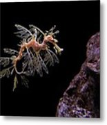 Leafy Sea Dragon Metal Print by Jonathan Sabin