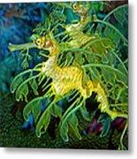Leafy Sea Dragons Metal Print