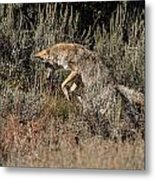 Leaping Coyote Metal Print