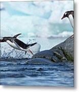 Leaping Gentoo Penguins, Antarctica Metal Print