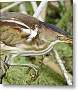 Least Bittern Female Feeding Metal Print