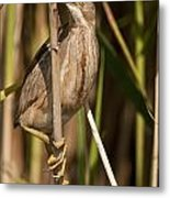 Least Bittern Pictures 14 Metal Print