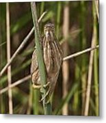Least Bittern Pictures 22 Metal Print
