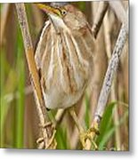 Least Bittern Pictures 35 Metal Print