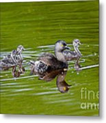 Least Grebe And Young Metal Print