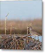 Least Sandpiper Morning Metal Print