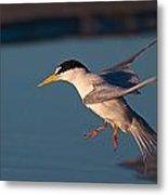 Least Tern In Flight Metal Print