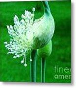 Leek Flower Metal Print