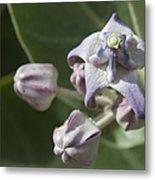 Lei Pua Kalaunu - Crown Flower - Calotropis Gigantea - Asclepiadaceae Metal Print