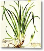 Lemon Daylily Botanical Metal Print