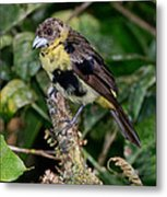 Lemon-rumped Tanager Molting Metal Print
