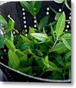 Lemon Verbena Herbs Metal Print