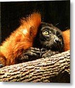 Lemur In Longing Metal Print