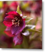 Lenten Rose Metal Print