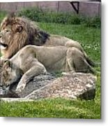 Leo And Una - Twin Male And Female Lions At The University Of North Alabama Metal Print