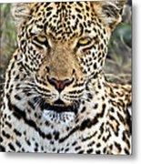 Wild Leopard In Botswana Metal Print